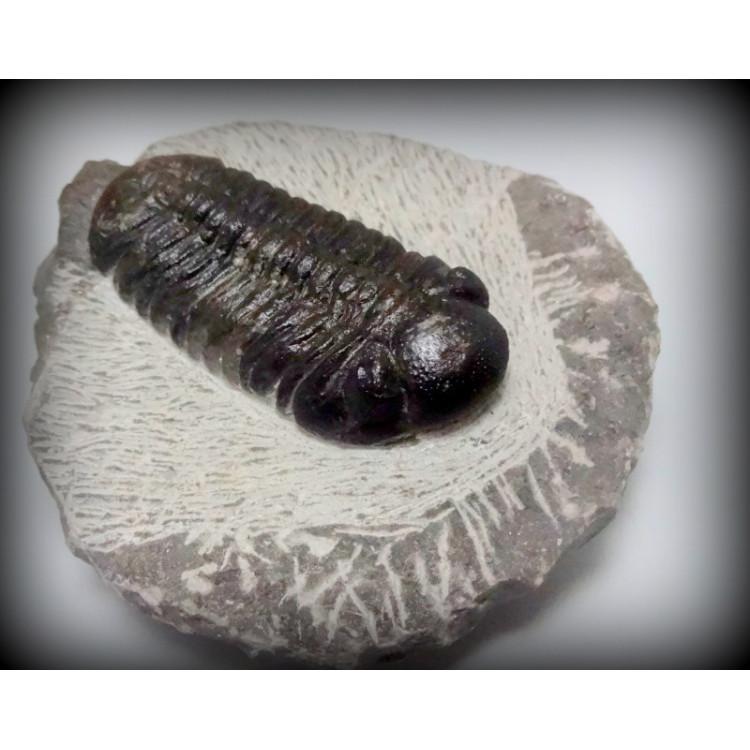 TRILOBITA FOSSIL PHACOPS REDOPES Trilobite MARROCOS #03