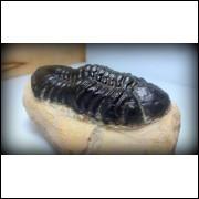 TRILOBITA FOSSIL PHACOPS REDOPES Trilobite MARROCOS #06