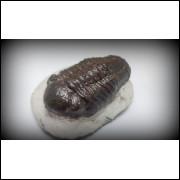 TRILOBITA FOSSIL PHACOPS REDOPES Trilobite MARROCOS #08
