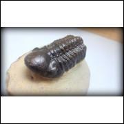 TRILOBITA FOSSIL PHACOPS REDOPES Trilobite MARROCOS #09