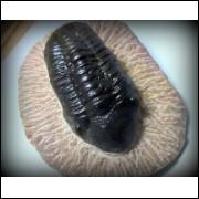 TRILOBITA FOSSIL PHACOPS REDOPES Trilobite MARROCOS #16
