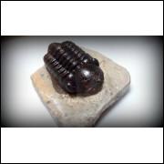 TRILOBITA FOSSIL PHACOPS REDOPES Trilobite MARROCOS #19